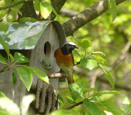 Garten-Rotschwanz-Männchen. © Helmut Dressler