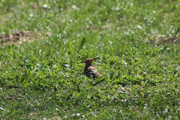 Der Wiedehopf wurde bei Uschertsgrün beobachtet.