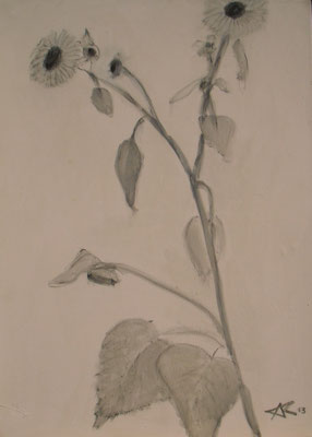 Skizze-Sonnenblume, 2013  80 x 50 cm, Kohle auf Molino    100,-