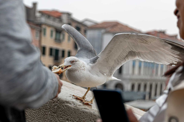 Füttern verboten! Eine Möwe auf der Rialtobrücke.