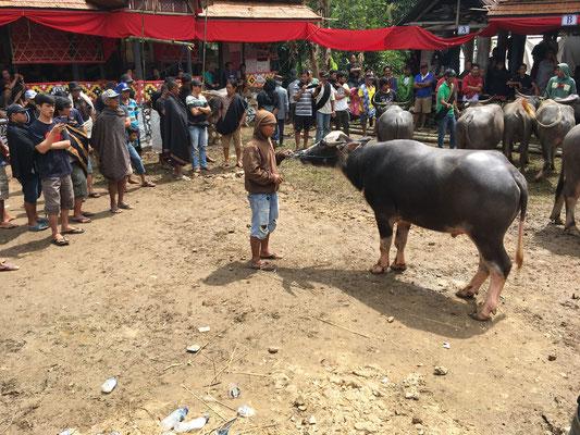 Beerdigungszeremonie - Rantepao - Tana Toraja - travelumdiewelt.de