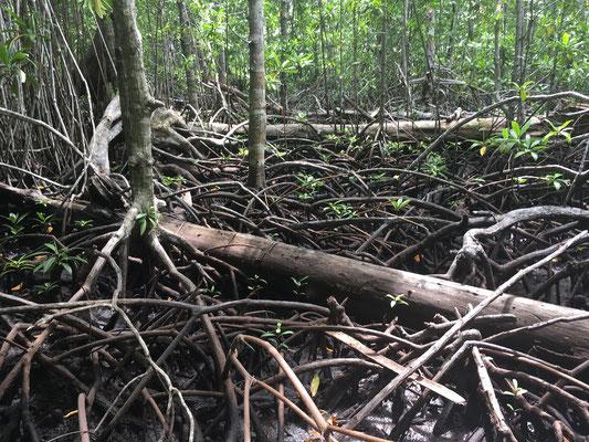 Mangroven - Dschungeltour - Sulawesi - Togian Islands - travelumdiewelt.de