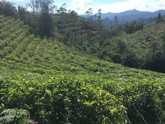 Malino Tour - Teeplantagen - Sulawesi - travelumdiewelt.com