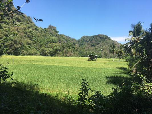 Reisfelder - Karstfelsen - Rammang Rammang - Indonesien - travelumdiewelt.de
