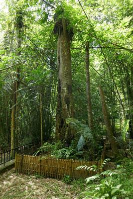 Baby Tree - Rantepao - Ausflüge - Tana Toraja - travelumdiewelt.de
