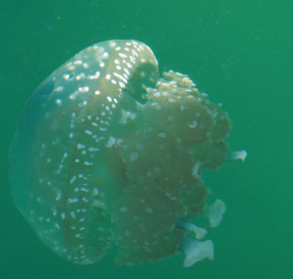 Jellyfish Lake - Reisetipps - Sulawesi - Indonesien - travelumdiewelt.de