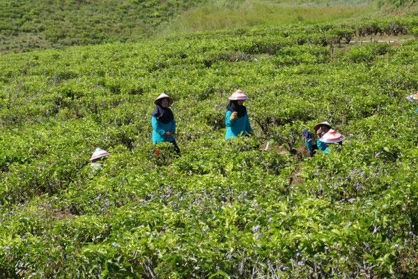 Malino Hochland - Teeplantagen - Sulawesi - Indonesien - travelumdiewelt.com