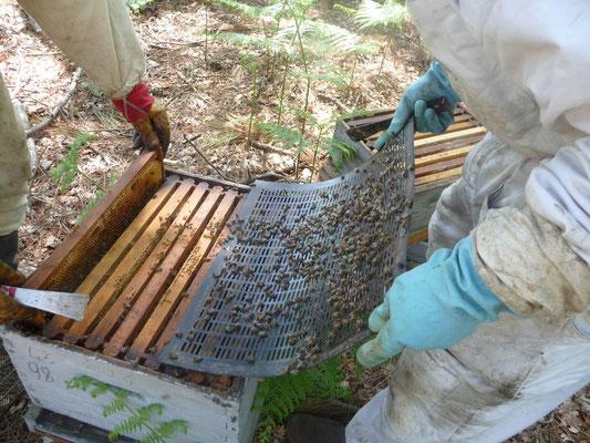 ©La Ruche de Pinsolle / Ouverture d'une hausse d'une ruche / Ruchers 2009 / www.laruchedepinsolle.com