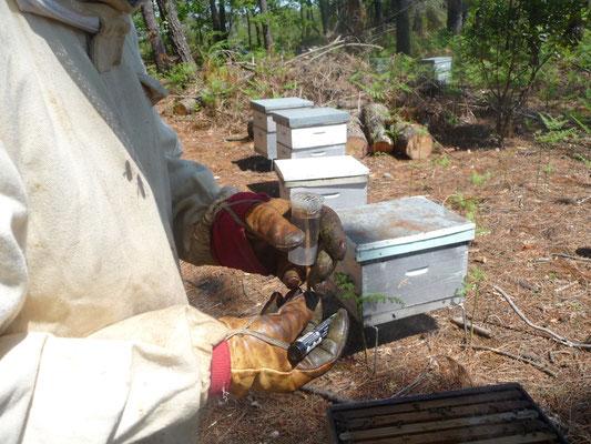 ©La Ruche de Pinsolle / Reine des abeilles capturée pour marquage au rucher / Ruchers 2009 / www.laruchedepinsolle.com