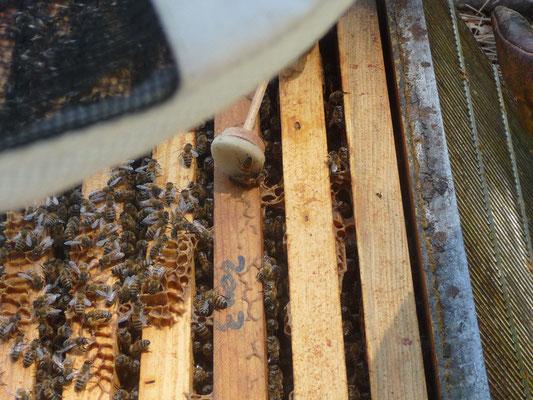 ©La Ruche de Pinsolle / Abeilles sur cadres dans leur ruche ouverte / Ruchers 2009 / www.laruchedepinsolle.com