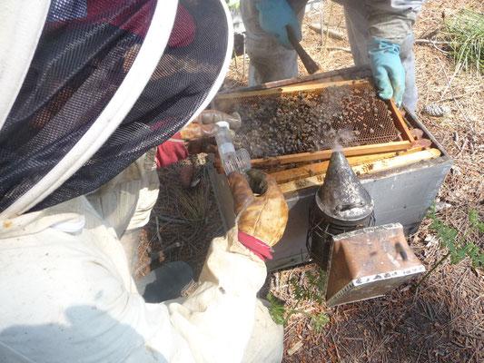 ©La Ruche de Pinsolle / Enfumage de la ruche pour capture de la reine des abeilles / Ruchers 2009 / www.laruchedepinsolle.com