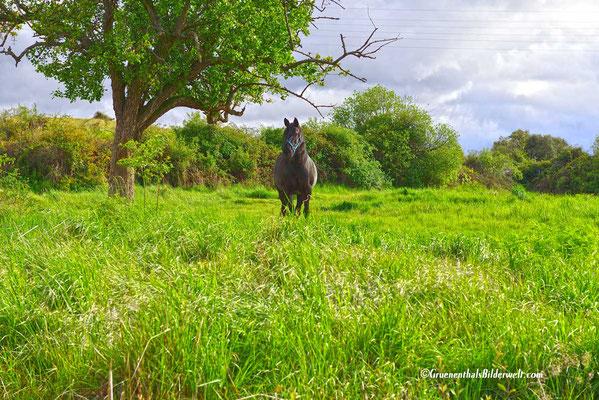 Piedrahita; Pferd