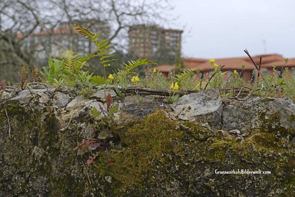 Der Frühling erreicht auch die bewachsenen Mauern.