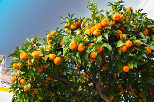 Torrox; Orangenbaum