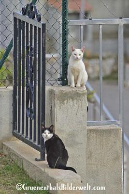Peniscola, Katze