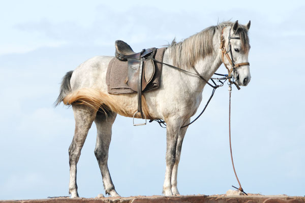 Marokko; Pferd