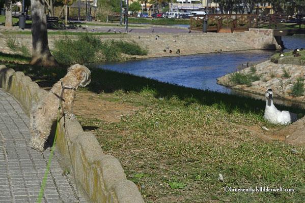 Raya beobachtet Gänse am Ententeich (Ullal de l'Estany)