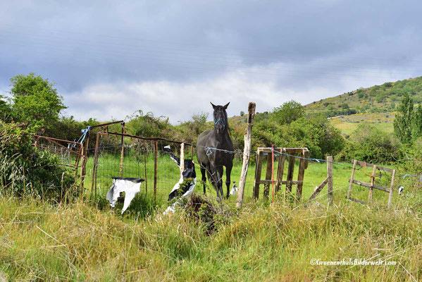 Piedrahita; Pferde
