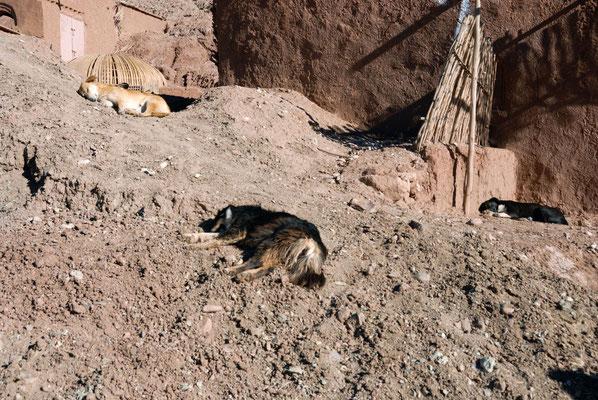 Marokko; Hund