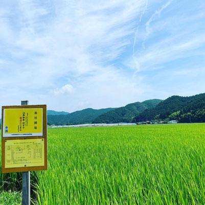 JA高知県四万十厳選にこまる。もう少しで出穂。