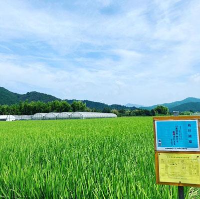JA高知県四万十厳選ぴかまる。こちらももうすぐ出穂。