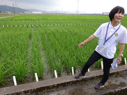 温室で固定化された稲が圃場に植えられ、この中から選抜が繰り返し行われます。