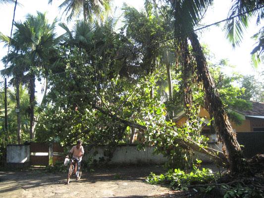 umgestürzter Baum vor Lakmalie's Haus nach einem starken Regen