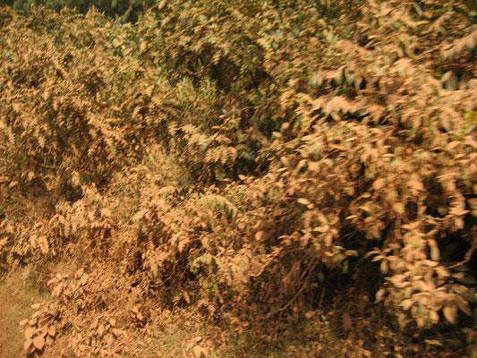 Roter Staub auf den Blättern am Rande der Straße