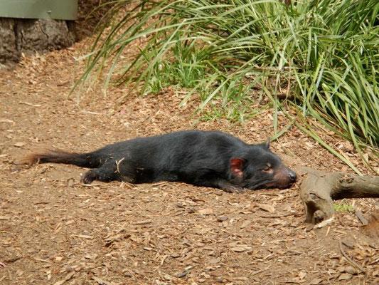 Tasmania devil 2012