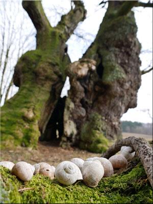 Angeblich vor über 1000 Jahren von Karl dem Großen gepflanzte Eiche.
