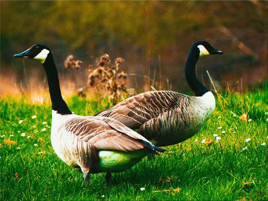 Kanadagänse, sie kommen im Frühjahr zu uns.