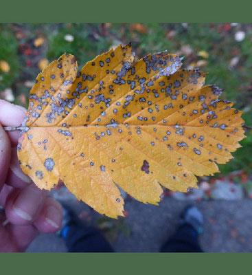 Schwedische Mehlbeere - Blatt in Herbstfärbung