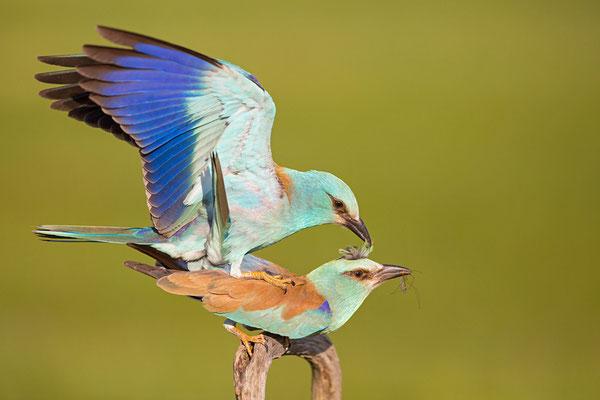 Paarung der Blauracken