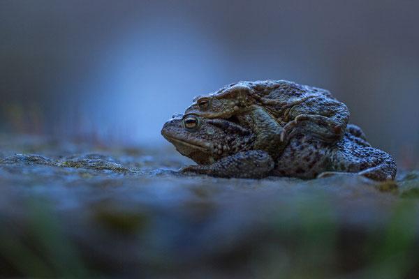 Nachtwanderung der Erdkröten
