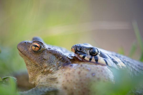 Ringelnatter verschluckt Erdkröte