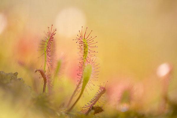 Langblättriger Sonnentau (Drosera longifolia)