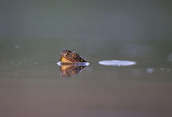 Europäische Sumpfschildkröte im Wasser