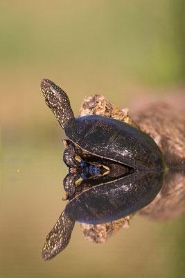 Europäische Sumpfschildkröte mit Spiegelbild