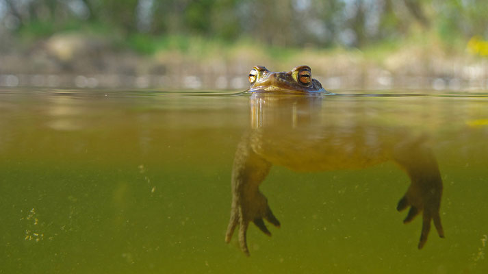 Erdkröte im Laichtümpel