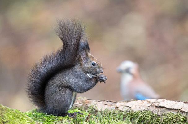 Eichhörnchen trifft Eichelhäher
