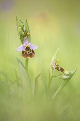 Hummelragwurz (Ophrys holoserica)