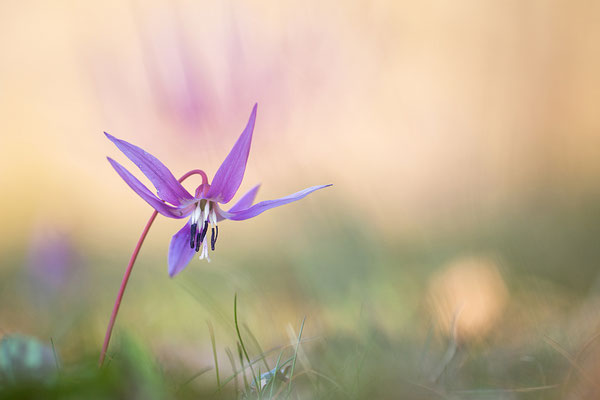 Hundezahn-Lilie (Erythronium dens-canis)