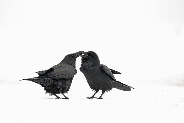 Kolkraben (Corvus corax) bei der Balz