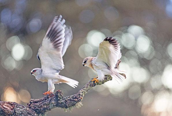Gleitaar (links Altvogel, rechts Jungvogel)