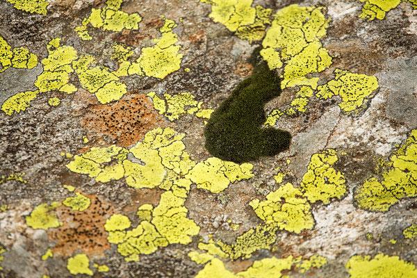 Moos und Flechten auf Fels