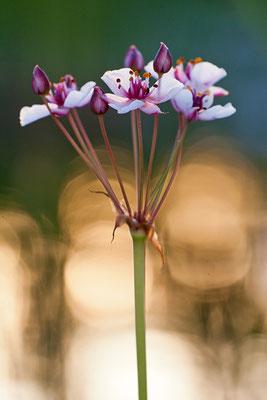 Schwanenblume (Butomus umbellatus)