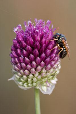 Kugel-Lauch (Allium sphaerocephalum)
