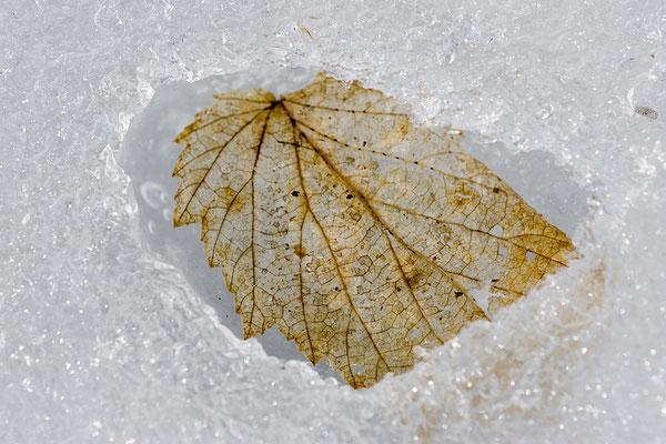 Blattskelett im Eis