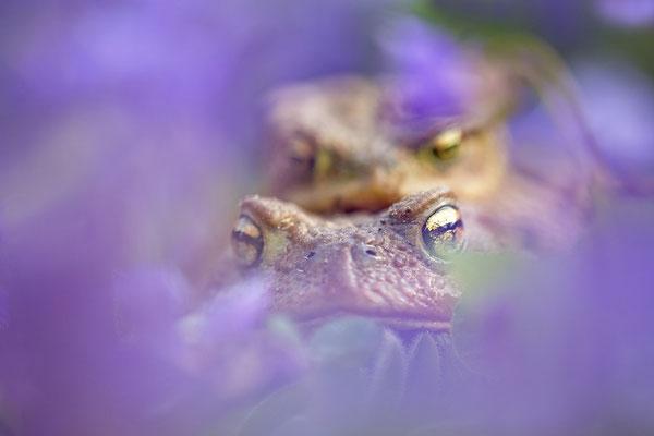 Portrait Erdkröten in Wunderveilchen