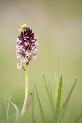 Brand-Knabenkraut (Neottinea ustulata)